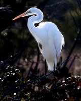 Great Egret on bush