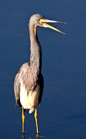 Great Blue Heron calling
